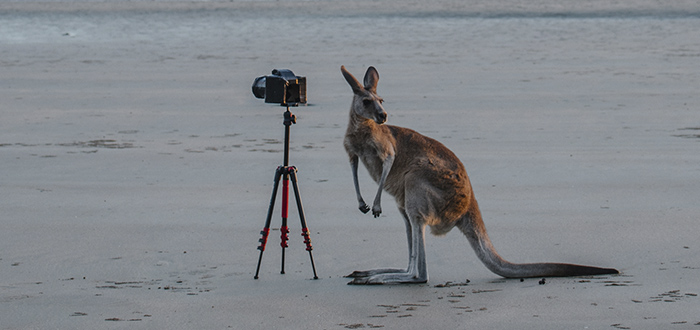 canguro-australiano